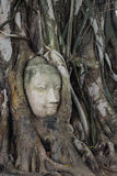 Stone Buddha's head entwined in tree roots. At Wat Maha That (Temple of the Great Relics) Ayutthaya, Thailand royalty free stock image