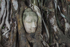 Stone Buddha's head entwined in tree roots. At Wat Maha That (Temple of the Great Relics) Ayutthaya, Thailand/ UNESCO World Heritage Site Stock Photos