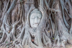 Stone Buddha In The Tree Tourist Attraction Royalty Free Stock Photo