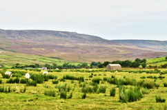 Stone built barn in a moorland setting with sheep. Royalty Free Stock Photography