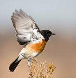 Stone Chat Stock Photos