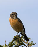 Stone Chat Stock Photography