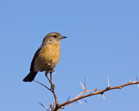 Stone Chat Royalty Free Stock Photography