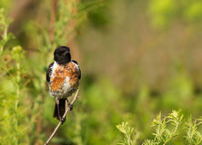 Stone chat Stock Images