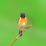 Stone Chat bird. Sitting on a branch with green background stock image