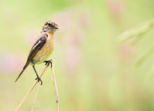 Stone Chat Female Stock Photography
