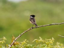 Stone Chat on Green Background. A Stone Chat on Green Background royalty free stock photography