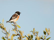 Stone chat perched against a blue sky. Nice image of a Stone chat perched against a blue sky royalty free stock image