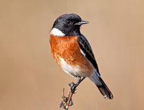 Stone chat sitting on a little branch Stock Photos