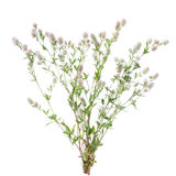 Stone clover (Trifolium arvense) Stock Image
