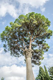 Stone column with a pattern on a background of pine that grows in one of the parks in the capital of Italy, Rome Royalty Free Stock Photography
