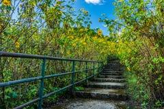 Stone concrete stairway in Tithonia diversifolia field Stock Photos