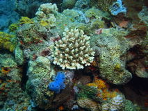 Stone coral Royalty Free Stock Image