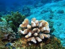 Stone coral Stock Photos