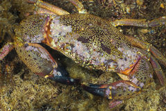 Stone Crab Royalty Free Stock Images