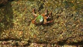 Stone crab stock video