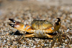 Stone Crab (Eriphia verrucosa) Royalty Free Stock Photo