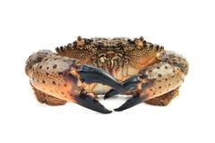 Stone crab (Eriphia verrucosa). Royalty Free Stock Images