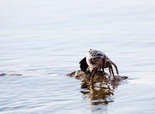 Stone Crab Royalty Free Stock Photo