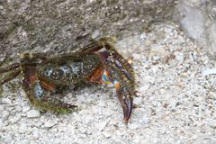 Stone crab in fighting position Stock Image
