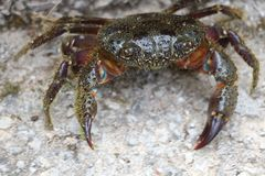 Stone crab in fighting position Stock Images