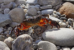 Stone crab on stones Stock Photos