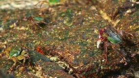 Stone Crabs stock video