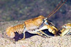 Stone crayfish Austropotamobius torrentium Royalty Free Stock Photography
