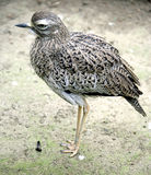 Stone Curlew 1 royalty free stock photo