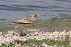Stone curlew Royalty Free Stock Image