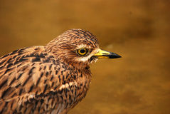 Stone curlew Stock Images