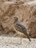 Stone Curlew Stock Photos