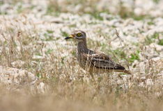 Stone-curlew Stock Photo