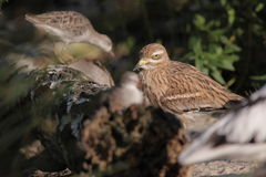 Stone curlew Stock Photography
