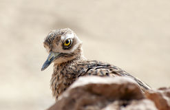 Stone Curlew Royalty Free Stock Photo