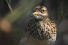 Stone curlew Royalty Free Stock Photos