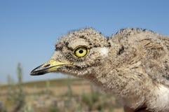 Stone curlew (Burhinos oedicnemus) Stock Photo