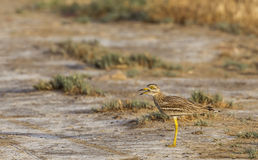 Stone curlew Singing Royalty Free Stock Image