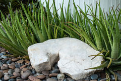 Stone decorative and aloe vera stock images