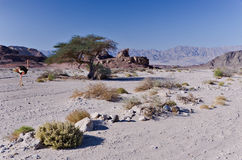 Stone desert of the Negev in spring Stock Photography