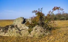 Stone and dogrose. A dogrose bush Rosa canina in stones of Aktovskiy Canyon, Nikolaev region, Ukraine Royalty Free Stock Photo