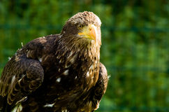 Stone eagle Stock Images