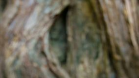 Stone face buried in the roots of a tree. Angkor, Cambodia Stock Photo