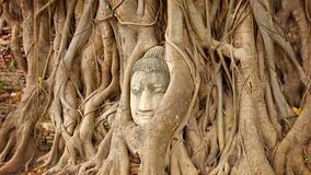 Stone face buried in the roots of a tree. Thailand, Ayutthaya stock footage