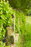 Stone fence with grapes Royalty Free Stock Images