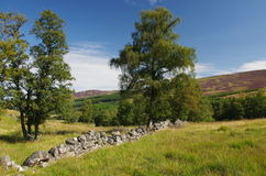 Stone fence in the Scottish Highlands. An old stone fence in the Highlands of Scotland with trees and a purple heather covered mountain in the background Royalty Free Stock Photography