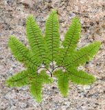 Stone fern leaf Royalty Free Stock Photography