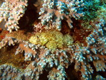 Stone-fish in an ambush Stock Photos