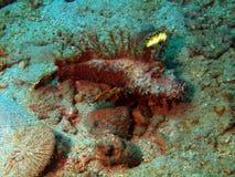 Stone-fish in an ambush Stock Photo