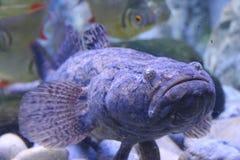 Stone Fish. In aquarium Thailand stock image